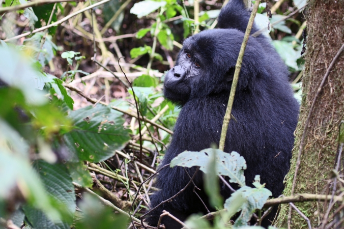 Female mountain gorilla takes a short break from feeding to flash her unforgettable eyes at us.