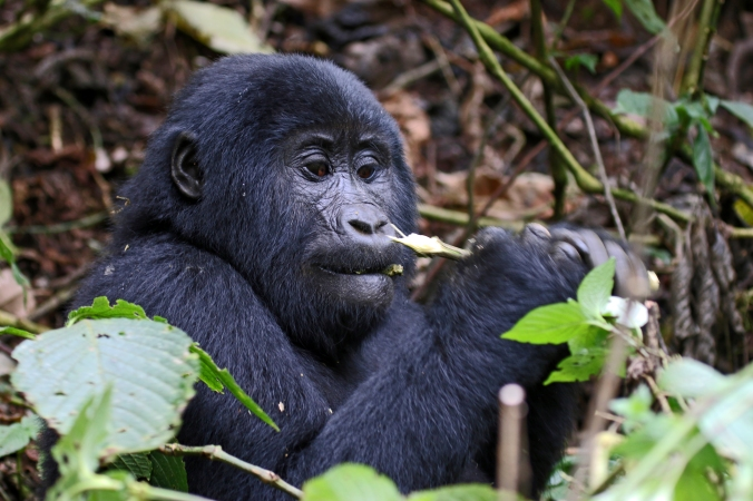 Juvenile male gorilla feeds on shrubbery in Bwindi Impenetrable Forest.