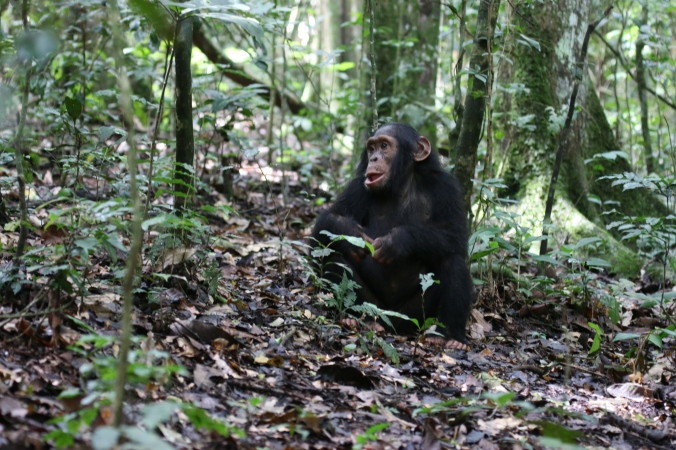 Young chimpanzee takes advantage of a brief rest before the chimpanzees are on the move again.