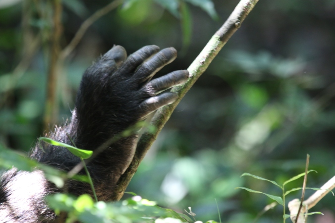 Almost human. A chimpanzees outstretched hand offers a glimpse into the past.